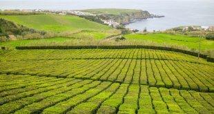Plantación de té Porto Formoso