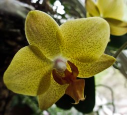 In a hanging basket - phalaenopsis ordinary size