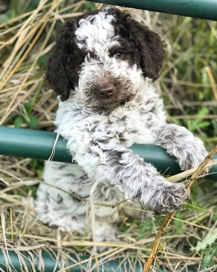 little roan coat lagotto puppy hanging out in a patch of hay