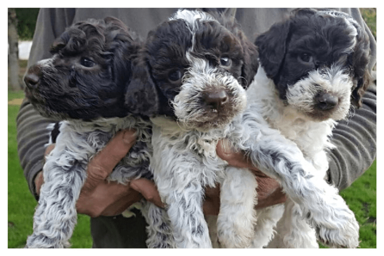 Three roant coat Lagotto puppies being held by a man at Amico Roma Puppies