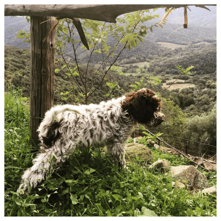 Amico Roma Puppies' Lagotto puppy with roan coat looking out into the Pacific Northwest mountains