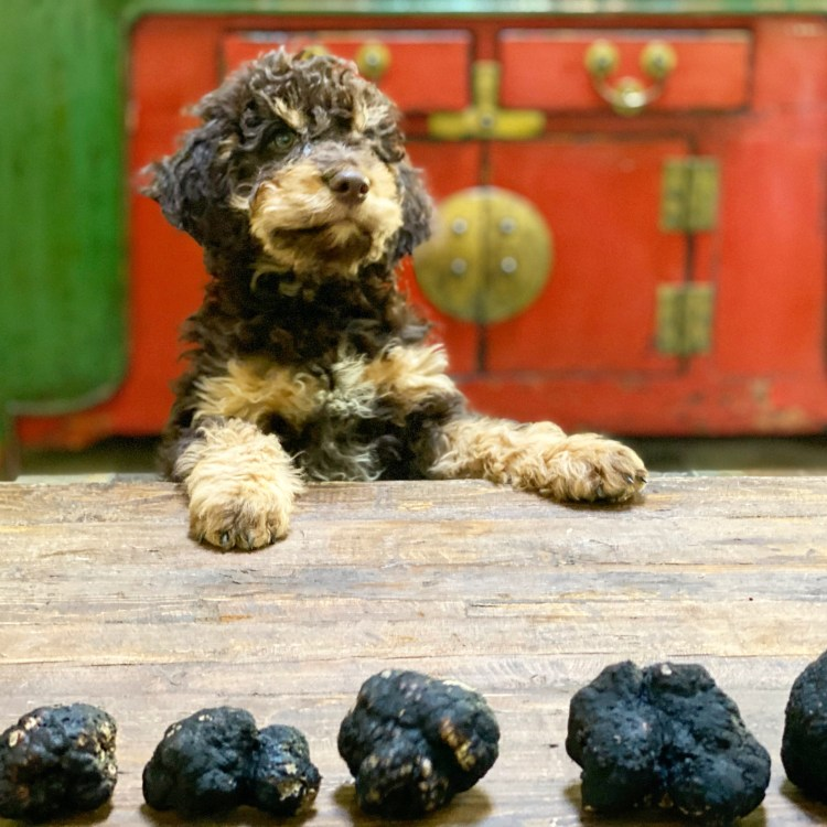 A tri colored Lagotto Romagnolo puppy training to be a successful truffle hunting dog with five black Oregon truffles lined up in front of him