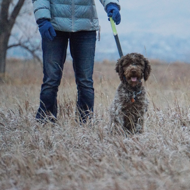 a roan colored lagotto romagnolo dog leashed sitting next to the owner in a golden grass field in front of snowy mountain range