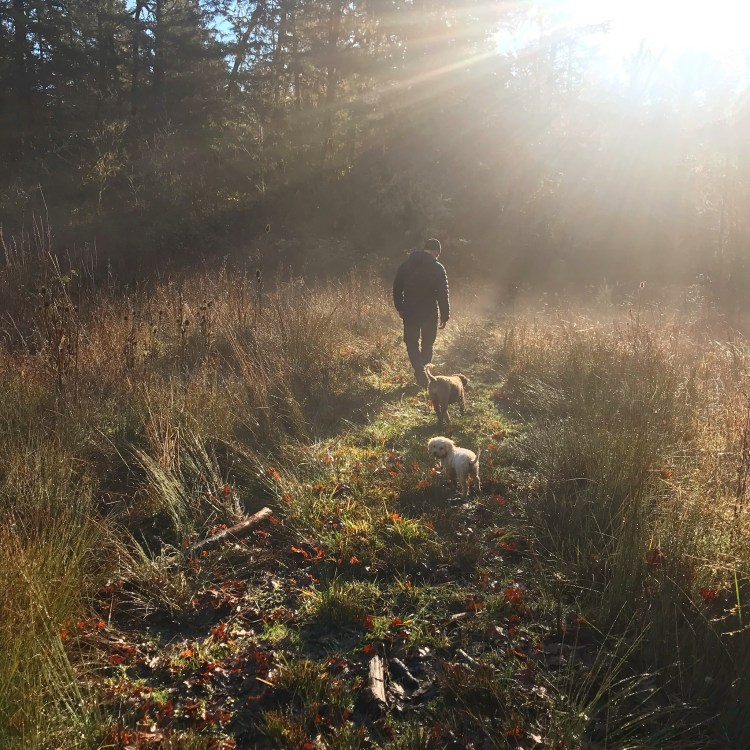 A man hunts truffles with Amico Roma Puppies trained truffle hunting dogs, Ava and Lea in tall grass on a sunny day.