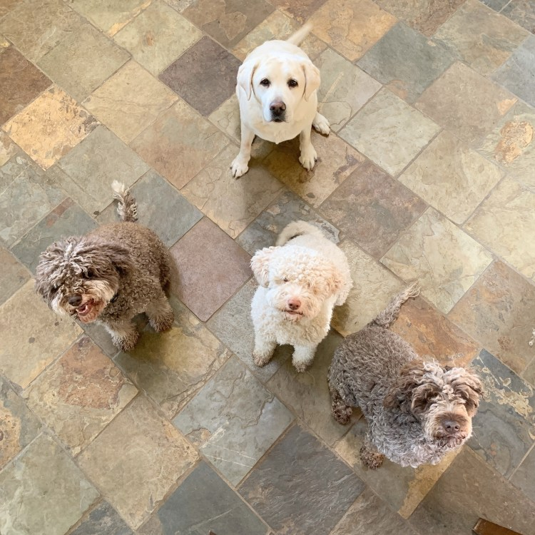 four of amico roma puppies' dogs sitting in the kitchen floor looking for treats. there are three lagotti and one white lab