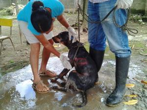 Maltratado y con graves heridas resultó el perro que fue arrastrado por su dueño.