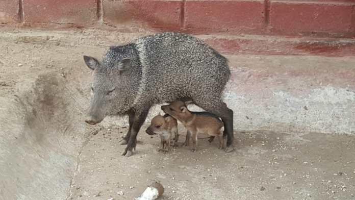Un saíno con sus crías, se encuentran hoy en el Centro agroecológico y ecoturístico Jerez, de propiedad de Corpoguajira.
