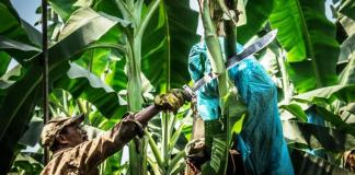El Gobierno nacional anunció el reforzar las medidas para controlar la sospecha de marchitez en cultivos de banano en La Guajira, al parecer generada por el hongo Fusarium Raza 4 Tropical, Foc R4T.