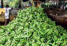 El mucho sol y la poca agua ha permitido que se presente la marchitez en el banano en el departamento de La Guajira.
