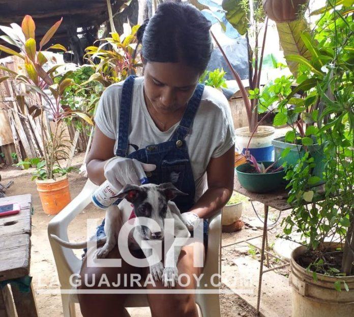 En su casa Yuritza atiende a varios de estos animales.