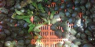 1200 hicoteas fueron regresadas a su hábitat