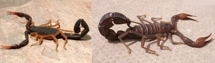 picadura de escorpion primeros auxilios