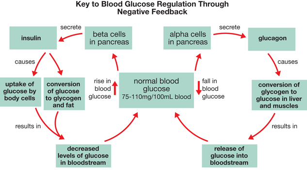 "Key to Blood Glucose Regulation by negative feedback. A double feedback diagram showing normal blood glucose, 75 - 110 mg / 100 mL blood, in the middle. To the right is shown a fall in blood glucose. Moving up and clockwise an arrow points to ""alpha cells in pancreas."" From here an arrow labeled ""secrete"" points to ""glucagon."" Another arrow labeled ""causes"" points to ""conversion of glycogen to glucose in liver and muscles."" From there an arrow labeled ""results in"" points to ""release of glucose into bloodstream."" To complete the loop an arrow points back to ""normal blood glucose."" To the left is shown a rise in blood glucose. Moving up and counterclockwise an arrow points to ""beta cells in pancreas."" From here an arrow labeled ""secrete"" points to ""insulin."" Below insulin two arrows branch, both labeled ""causes."" The right arrow points to ""conversion of glucose to glycogen and fat."" The left arrow points to ""uptake of glucose by body cells."" Below both of these are arrows that are labeled ""results in"" and both point to ""decreased level of glucose in bloodstream."" To complete the loop an arrow points back up to ""normal blood glucose."""