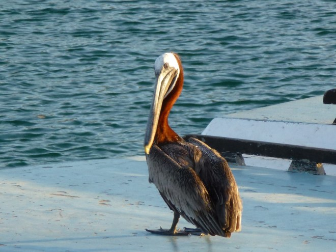 Pelican - Santa Cruz