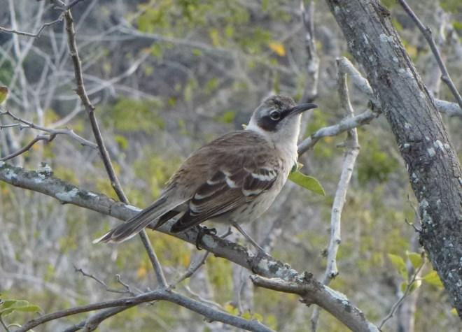 Oiseau moqueur - Santa Fe