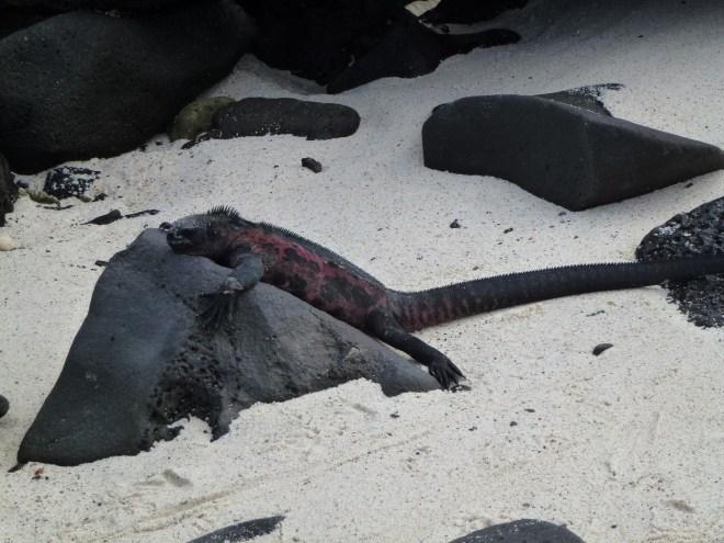 Iguane marin - Española