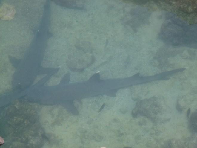 Requins à pointe blanche