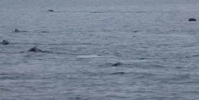 Baleines de Tadoussac
