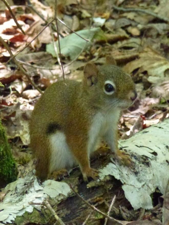 Ecureuil - Parc national du Bic