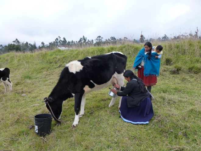 Traite de la vache à San Clemente