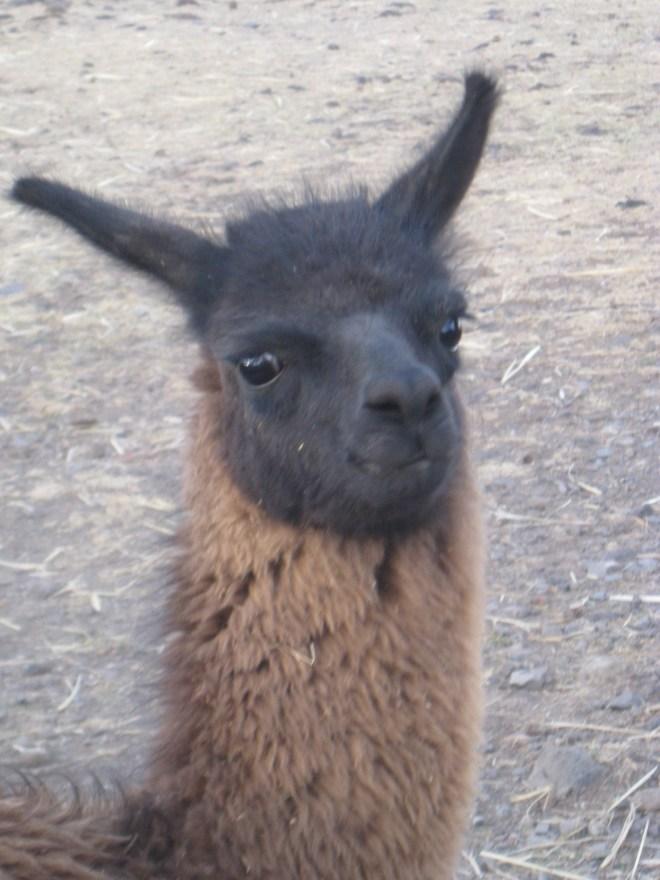 Lama - Sillustani - Pérou