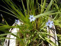 blue-eyed grass (unscented)