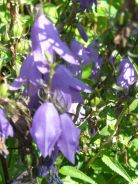 sad purple campanula