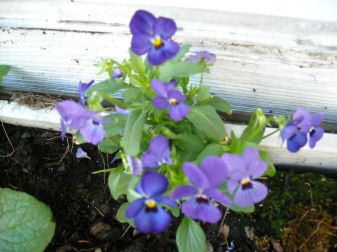 violas showed up in the window box outside my art table!