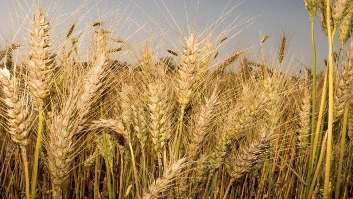 wheat price 2021