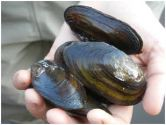 PhD scholar Muhammad Sohail finds heavy metals toxicity in Chashma Barrage mussels