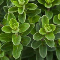 mejorana: planta aromática