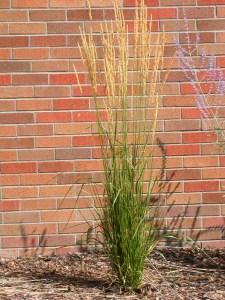 Calamagrostis x acutiflora 'Carl Foerster'