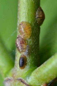 Scale insects on the stem of Cornus sanguinea