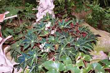 20160113KBegonia_heracleifolia_f._nigricans