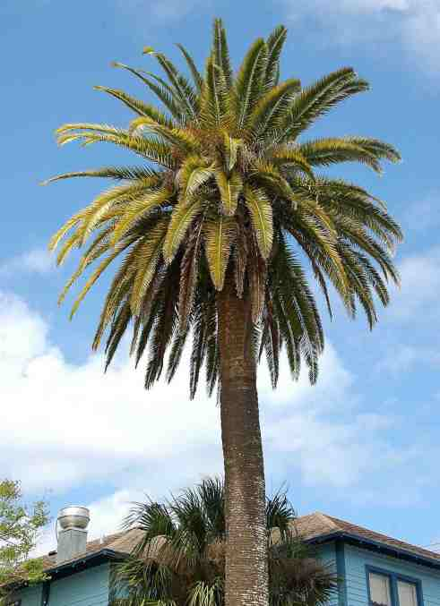 Palm (Phoenix canariensis)