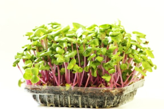 A Growing microgreens on plastic white cup