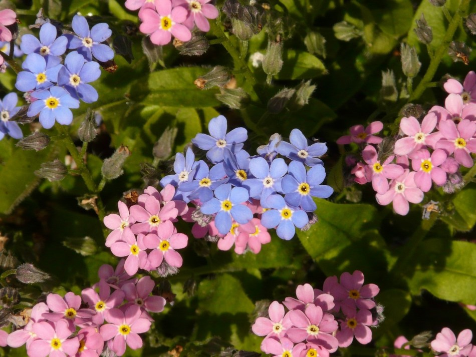 Forget My Not Myosotis Forget Mein Not Forget Me Not