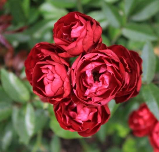20170514E Moje róże - moja pasja