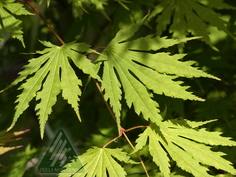 20170713D Acer x pseudosieboldianum Arctic Jade - spring leaves_5989.jpg