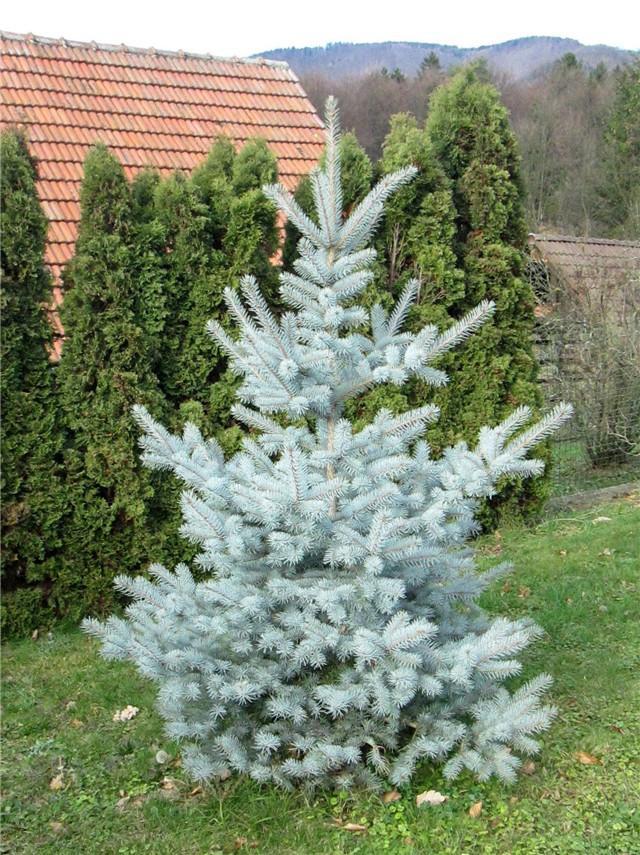 20170823A picea_pungens_edith Oaktree Nurseries