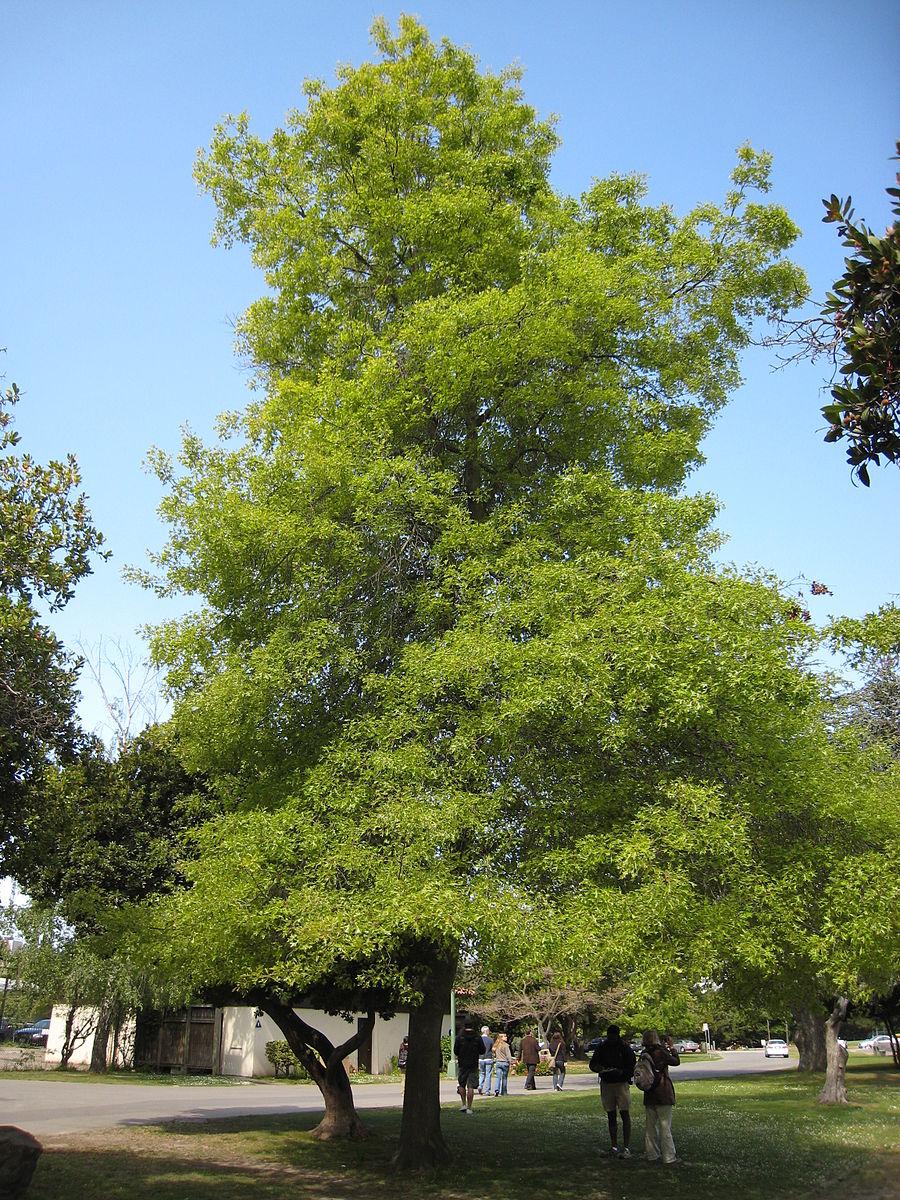 20170827E Quercus_palustris josh jackson, WC.jpg