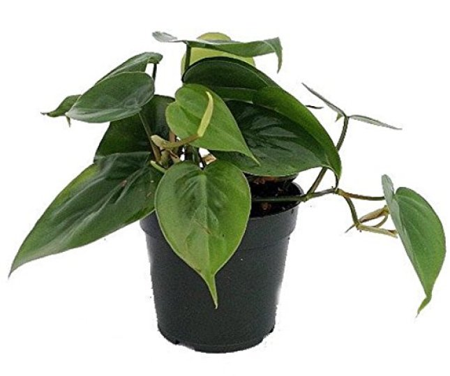 20180126J Phiiodendron hederaceum www.amazon.com_
