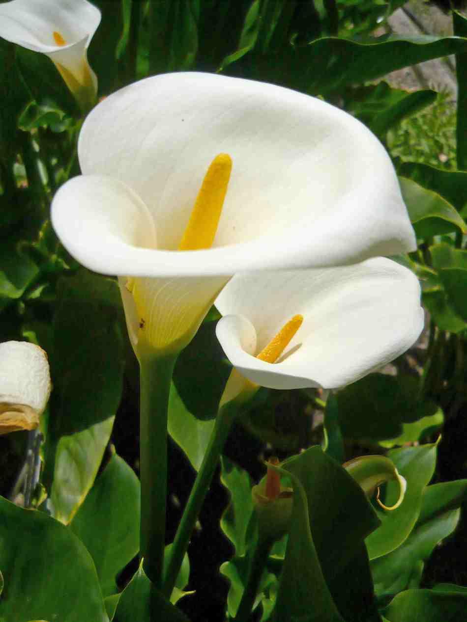 20180325C Zantedeschia_aethiopica_flowers-desktopwallpaper.blogspot.ca.jpg