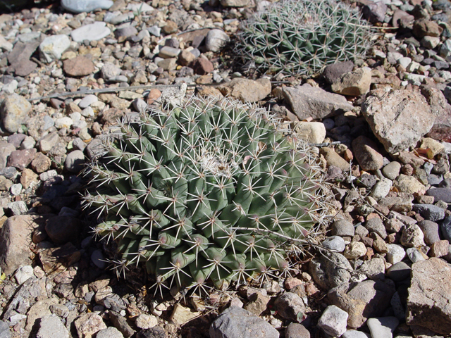 20180725D Mammillaria heyderi, www.wildflower.org