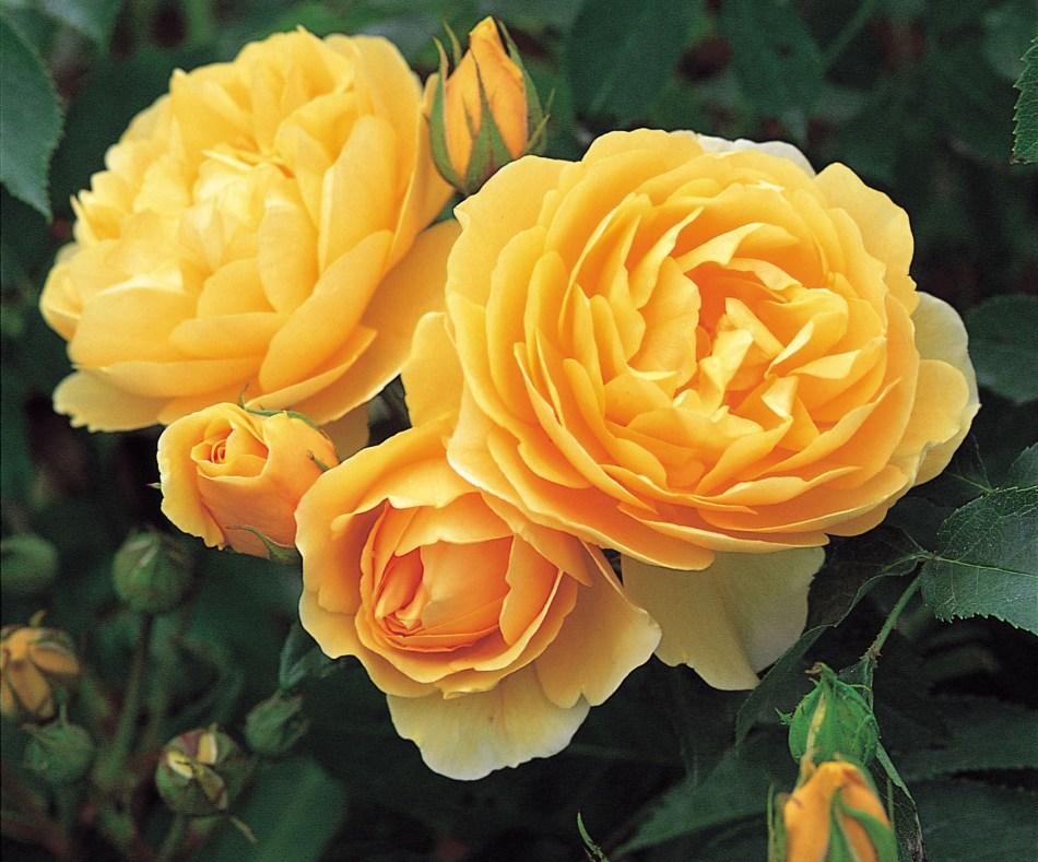 20181222D Graham Thomas, DA Roses..jpg