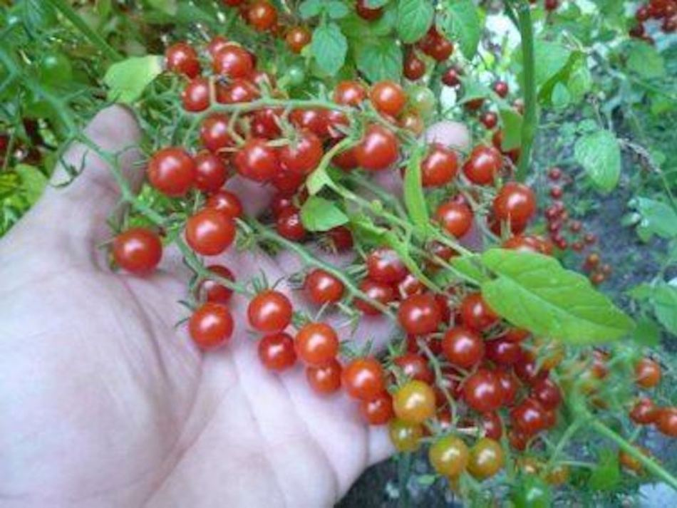 Hand holding wild tomatoes