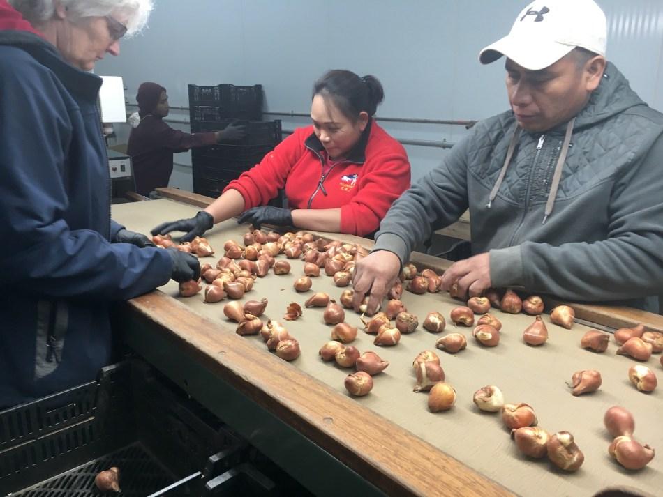 Workers sorting tulip bulbs on a conveyor belt