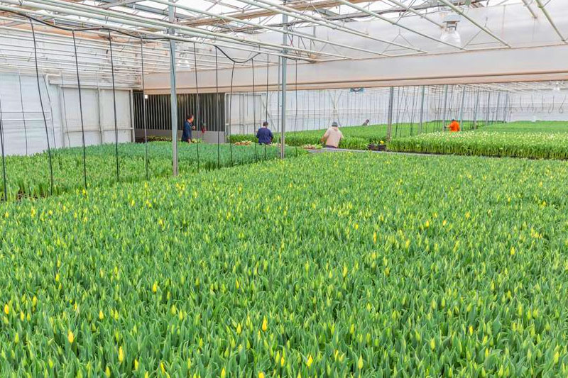 Greenhouse full of tulips coming into bloom.