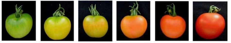 Tomato ripening from green to green and red to red.