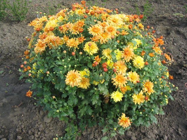 Chrysanthemum 'Tigertail', Double orange and yellow flowers, green leaves, mounded habit